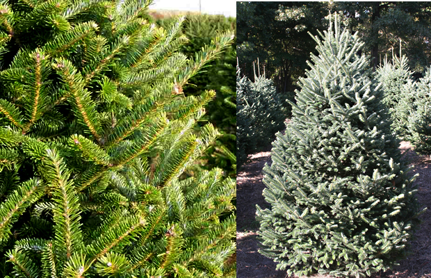 The Fazer Fir xmass tree for sale in Horwich, Bolton